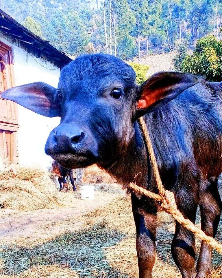 buffalo cute calf
