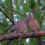ghughuti-bird